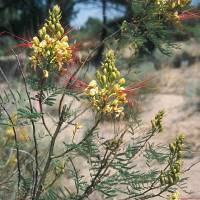 Image of Caesalpinia gilliesii