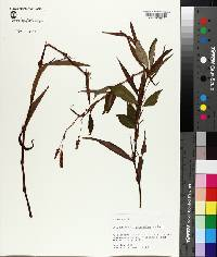Persicaria hydropiperoides image