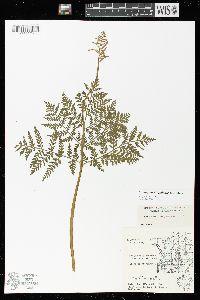 Botrypus virginianus subsp. virginianus image