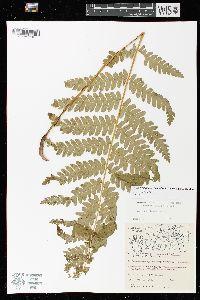 Claytosmunda claytoniana subsp. claytoniana image