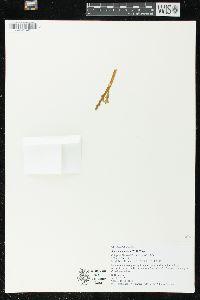 Botrychium mormo image