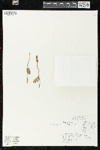 Botrychium lunaria image