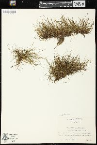 Pilularia globulifera image