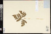 Gymnocarpium robertianum image