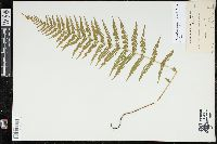 Parathelypteris noveboracensis image