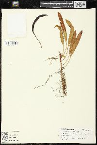 Image of Elaphoglossum aemulum