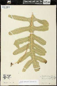 Phymatosorus scolopendria image